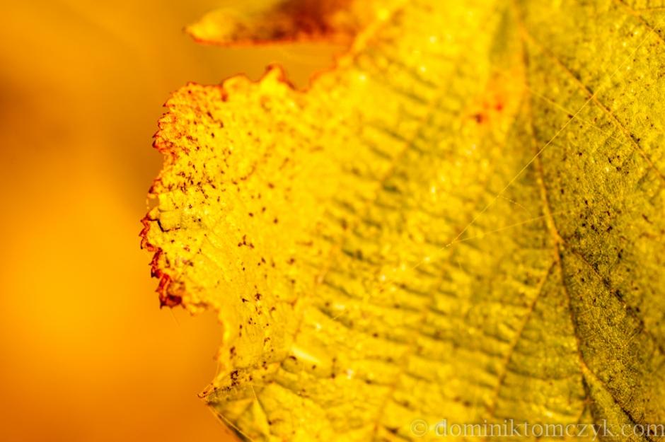 jesień, autumn, liść, liście, leaf, leafs, złota jesień, golden autumn, Roztocze, Nikon D700, Nikon D800