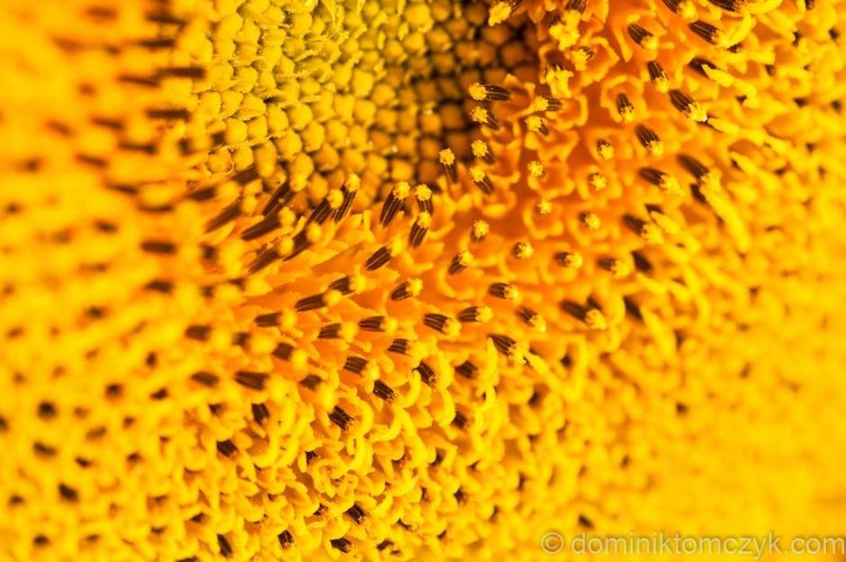 słonecznik, słoneczniki, sunflower, sunflowers, Dominik Tomczyk, Nikon D700, macro, makro