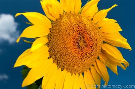 słonecznik, słoneczniki, sunflower, sunflowers