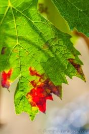 autumn, #autumn, colors of autumn, #colorsofautumn, fotografia, #fotografia, Italy, #Italy, jesień, #jesień, kolorowa jesień, #kolorowajesień, kolory jesieni, #koloryjesieni, leaves, #leaves, list, #list, liście, #liście, liść, #liść, makro, #makro, nature, #nature, natura, #natura, photography, #photography, Sigma150, #Sigma150, Toskania, #Toskania, Tuscany, #Tuscany, NikonD700, #NikonD700,