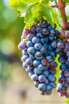 owoce, #owoce, fruits, #fruits, grapes, #grapes, Toskania, #Toskania, Tuscany, #Tuscany, vineyard, #vineyard, winnica, #winnica, winogrona, #winogrona