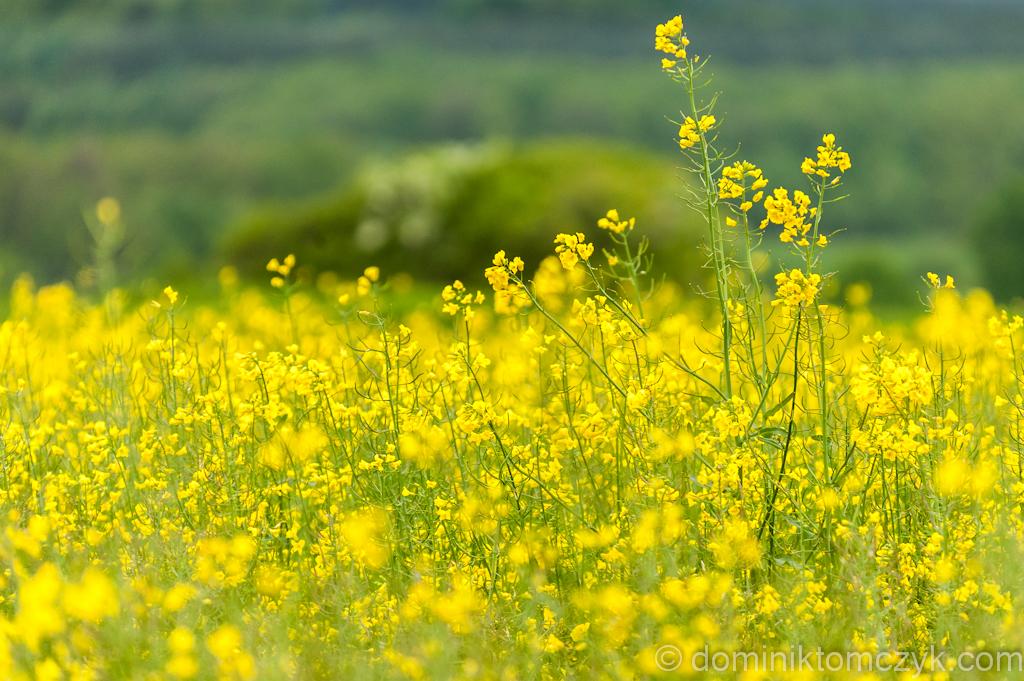 #365PhotoDays, #365photoproject, #365project, #dailyphoto, #DominikTomczyk, #Nikon, #onephotoaday, #spring, 365 photo project, 365 PhotoDays, 365 project, 365days, daily photo, Dominik Tomczyk, Nikon D700, Nikon D800, one photo a day, Morskie Oko, #MorskieOko, krajobraz, #krajobraz, landscape, #landscape, rzepak, #rzepak, rape, #rape