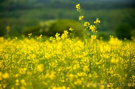 flower, kwiat, nature, #nature, natura, #natura, rape, #rape, rzepak, #rzepak, krajobraz, #krajobraz, landscape, #landscape, Roztocze, #Roztocze, Polska, #Polska, Poland, #Poland, wiosna, #wiosna, #spring, #spring,