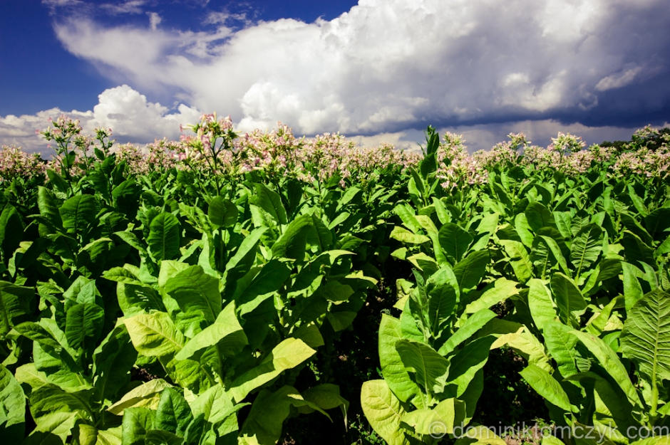tabacco, tytoń, Roztocze, landscape _DSC0329