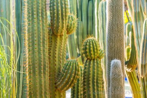 kaktus, #kaktus, cactus, #cactus, Jardin Majorelle, #JardinMajorelle, Paul Berg, #PaulBerg, Pierre Bergé, #PierreBergé, drzewa, #drzewa, flowers, #flowers, garden, #garden, kwiaty, #kwiaty, Marakesz, #Marakesz, Maroko, #Maroko, Marrakech, #Marrakech, Marrakesz, #Marrakesz, Morocco, #Marocco, ogród, #ogród, YSL, #YSL, Yves Saint Laurent, #YvesSaintLaurent