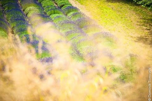 lawenda, lawendowe pole, -8744