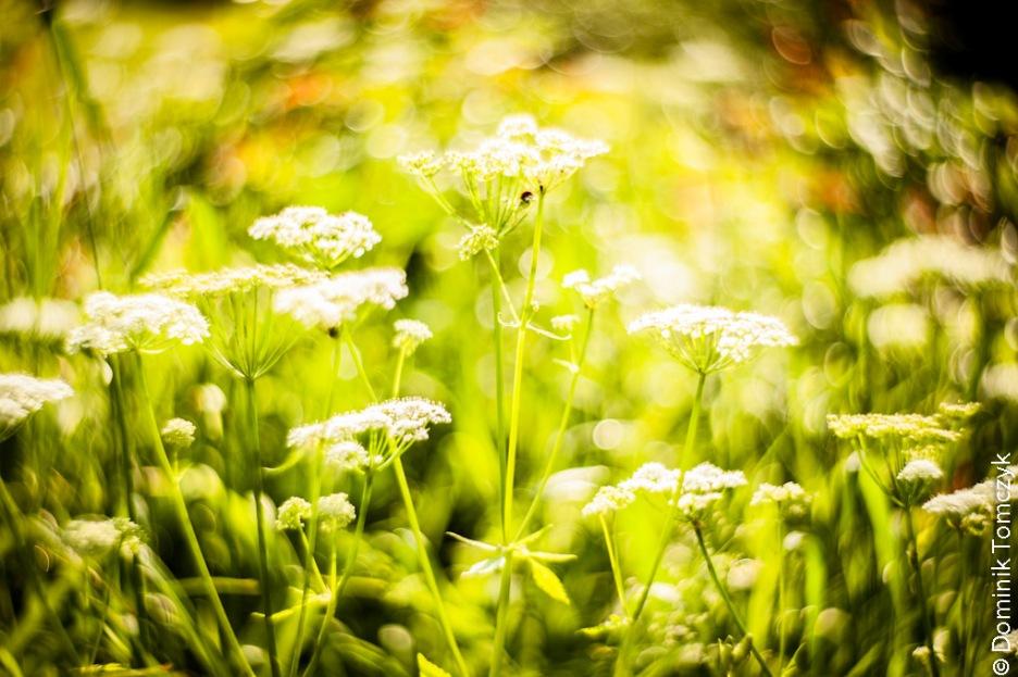 Roztocze, kwiaty, natura, Petzval 85mm, -8686