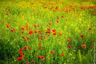 Roztocze, kwiaty, natura, maki, -83465