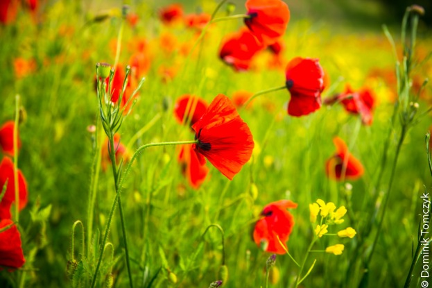 Roztocze, kwiaty, natura, maki, -83466