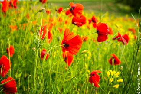 Roztocze, kwiaty, natura, maki, -83467
