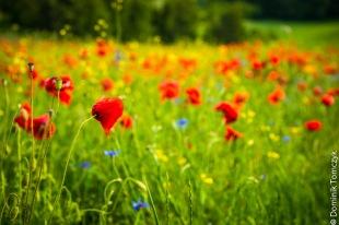 Roztocze, kwiaty, natura, maki, -83468