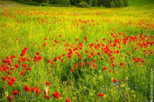 Roztocze, kwiaty, natura, maki, -83470