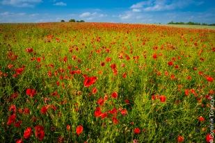 Roztocze, kwiaty, natura, maki, -83472