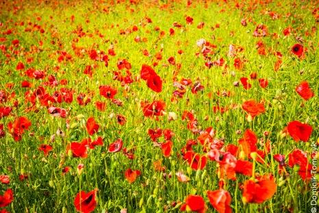 Roztocze, kwiaty, natura, maki, -83475