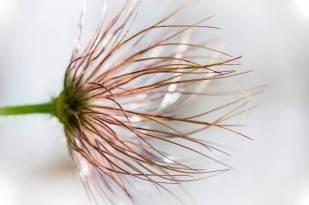 nature-pulsatilla-vulgaris-sasanka-zwyczajna-3930