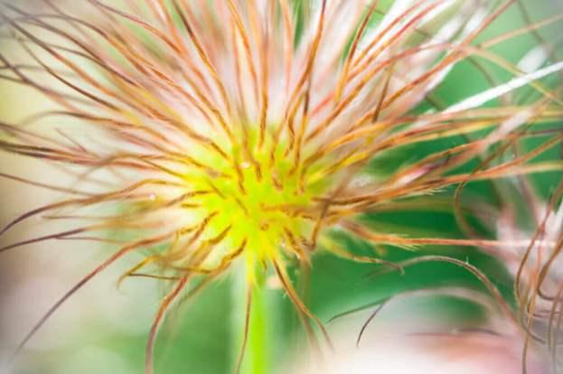 nature-pulsatilla-vulgaris-sasanka-zwyczajna-3941